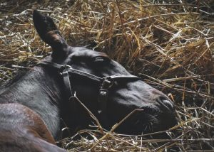 Brown horse lying down in straw in stable