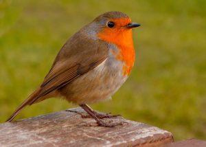 Robin Wild Bird stood on a table in the garden